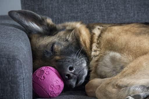 Dog Sleeping. Better sleep with Yoga.